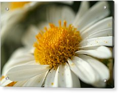 Petals And Pollen Acrylic Print by Michael McGowan
