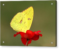 Acrylic Print featuring the photograph Petals And Wings by Sheila Brown