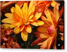 Petals Of Autumn 2 Acrylic Print by Jim  Darnall