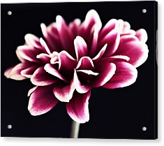 Petals Of The Mum Acrylic Print by Cathie Tyler