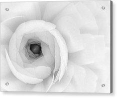 Petals Unfurling Acrylic Print