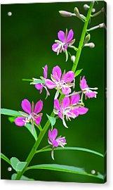 Petites Fleurs Violettes Acrylic Print