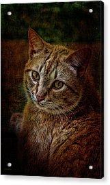 Pets Fat Cat Portrait 2 Acrylic Print