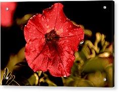 Petunia After Rain Acrylic Print
