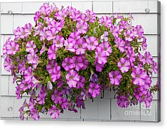 Acrylic Print featuring the photograph Petunias On White Wall by Elena Elisseeva