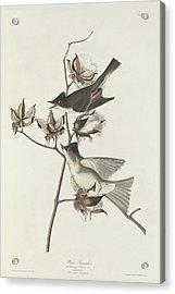 Pewit Flycatcher Acrylic Print