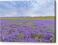 Acrylic Print featuring the photograph Phacelia Field by Marc Crumpler