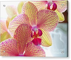 Phalaenopsis Acrylic Print by Addie Hocynec