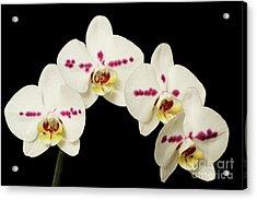 Phalaenopsis Moth Orchids Acrylic Print