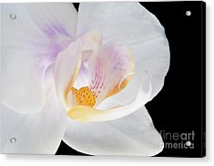 Phalenopsis I Visit Www.angeliniphoto.com For More Acrylic Print by Mary Angelini