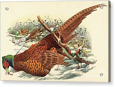 Phasianus Colchicus, Ring Necked Pheasant Acrylic Print by John Gould