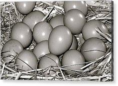 Pheasant Eggs Acrylic Print by Karon Melillo DeVega