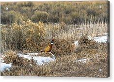 Pheasant Glory Acrylic Print