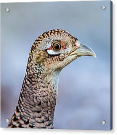 Pheasant Hen Acrylic Print
