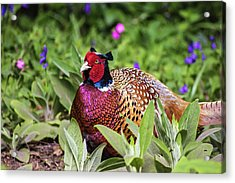 Pheasant Acrylic Print