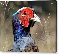 Pheasant Portrait Acrylic Print