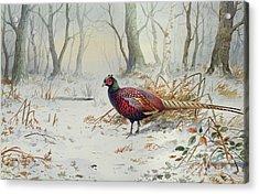 Pheasants In Snow Acrylic Print