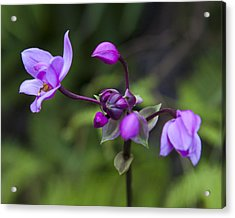 Philippine Ground Orchid Acrylic Print