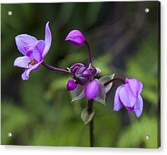 Philippine Ground Orchid Acrylic Print