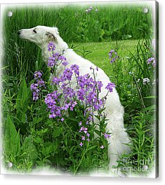 Phlox And Hound Acrylic Print