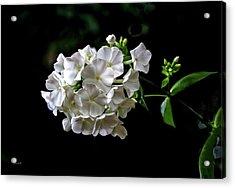 Phlox Flowers Acrylic Print