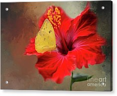 Acrylic Print featuring the photograph Phoebis Philea On A Hibiscus by Eva Lechner