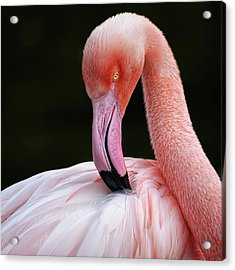 Phoenicopterus Acrylic Print by QuimGranell