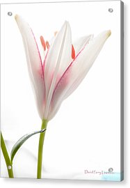 Acrylic Print featuring the photograph Photograph Of A Pale Lily Opening I by David Perry Lawrence