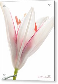 Acrylic Print featuring the photograph Photograph Of A Pale Lily Opening II by David Perry Lawrence