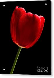 Acrylic Print featuring the photograph Photograph Of A Red Tulip On Black I by David Perry Lawrence