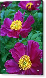 Pianese Flowers Acrylic Print by Natural Selection Tony Sweet