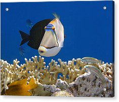 Picasso Fish And Klunzingerwrasse Acrylic Print