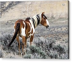 Picasso - Wild Mustang Stallion Of Sand Wash Basin Acrylic Print by Nadja Rider
