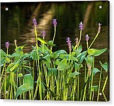 Pickerel Weed - Pontederia Cordata Acrylic Print