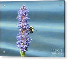 Pickerelweed Bumble Bee Acrylic Print