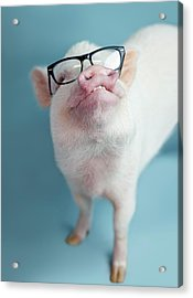 Pickle The Pig II Acrylic Print
