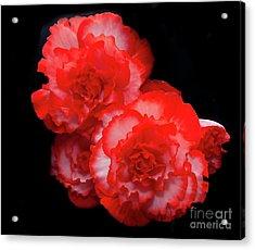 Picotee Begonia Acrylic Print