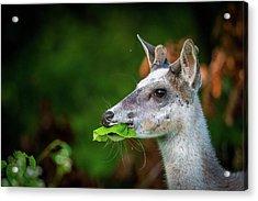 Pie Bald Deer Acrylic Print