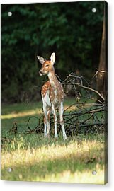 Piebald Whitetail Deer Fawn Acrylic Print by Erin Cadigan