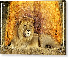 Pieces Of A Lion Acrylic Print