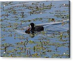 Pied Billed Grebe Lake John Swa Co Acrylic Print