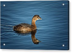 Acrylic Print featuring the photograph Pied Billed Grebe by Randy Hall