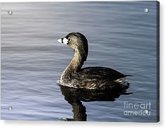 Acrylic Print featuring the photograph Pied-billed Grebe by Robert Frederick