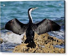 Pied Cormorant Acrylic Print