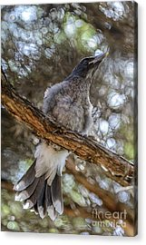 Pied Currawong Chick 1 Acrylic Print