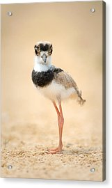 Pied Plover Vanellus Cayanus Chick Acrylic Print by Panoramic Images