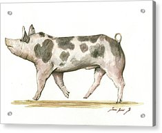 Pietrain Pig Acrylic Print