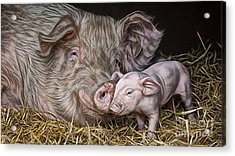 Pig Collection Acrylic Print by Marvin Blaine