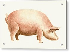Pig Acrylic Print by Michael Vigliotti