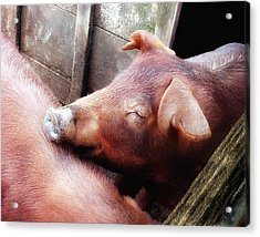 Pig Pals Acrylic Print by Ross Powell